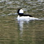 Bufflehead Duck on HWL Pond