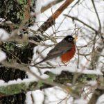 Spring Robin in Snowfall